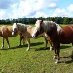 Reiterhof Luenzen - Reiterferien und Urlaub in der Lüneburger Heide auf dem Reiterhof Lünzen / Unsere Pferde: Tinker und Haflinger